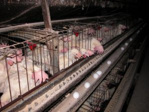 battery-cage-photo-2-776552
